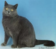 The Chartreaux Cat Breed